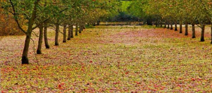 Шторм в Ирландии оказался идеальным помощником в сборе урожая яблок