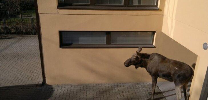 FOTOD: Hirmunud põder eksis Tallinnas elumajade vahele