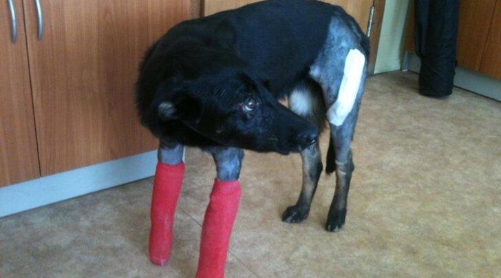 Avariis viis luud murdnud koerale tulid appi sajad loomasõbrad