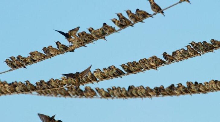 Kaks Eestis esinevat linnuliiki sattus ohustatud liikide nimekirja.