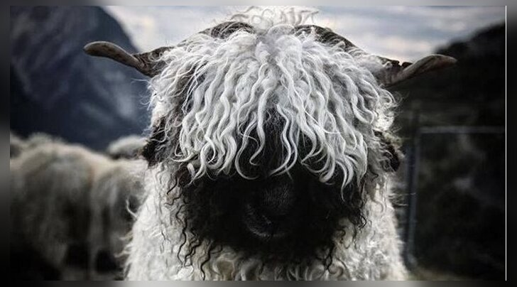FOTOD: Kas need müstilise välimusega lambad on hirmuäratavad või hoopis väga armsad?