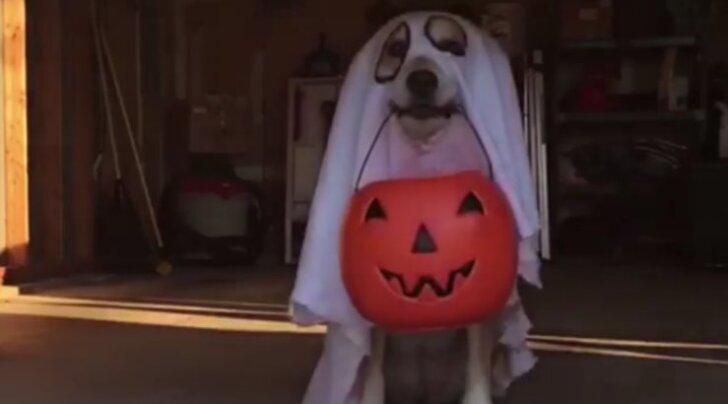 VIDEO: Kuidas sina <em>halloweeni</em> tähistad? Saa tuttavaks koeraga, kes käib <em>halloweeni</em> puhul perest peresse maiuseid küsimas