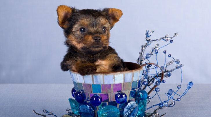 Viimase aja trend: mis peitub popiks muutunud <em>teacup-</em>koerte taga?