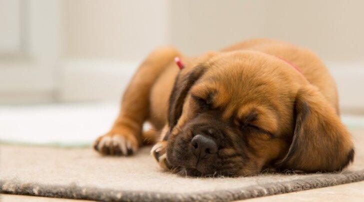 Miks koerad enne pikali heitmist väga sageli põrandat kraabivad?