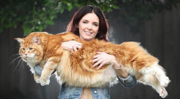 SAA TUTTAVAKS: Kass, kes kaalub rohkem kui mõnigi koer ja on tavalisest kassist 3 korda suurem