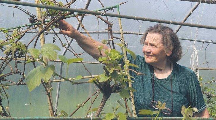 Kes oskab kasvatada tomatit, saab hakkama ka viinamäega