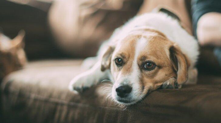 Kas muretsed tihti üleliia, kui koera tervisega midagi valesti tundub olevat? 6 seisundit, mis polegi nii ohtlikud, kui esimese hooga tundub