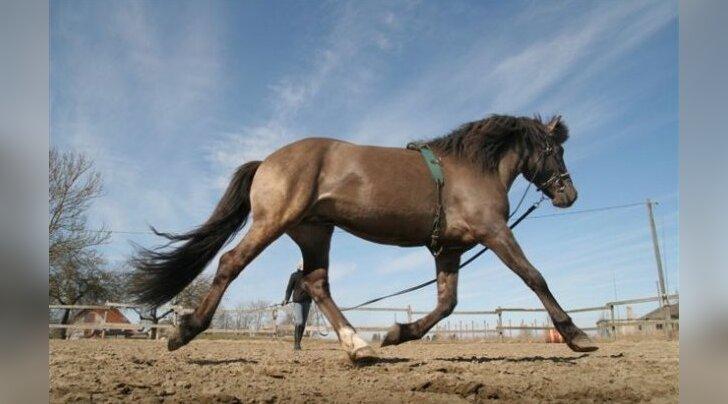 Hobuseblogi: trenni tegeva hobuse lihased vajavad hoolt