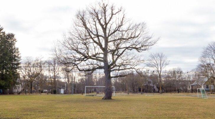 Orissaare tamm, Euroopa aasta puu