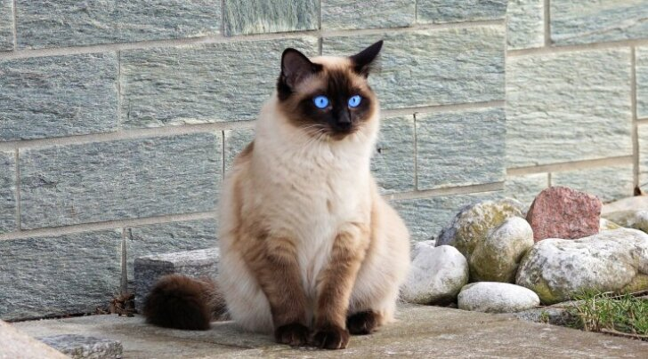 Täna tähistatakse siiami kassi päeva!