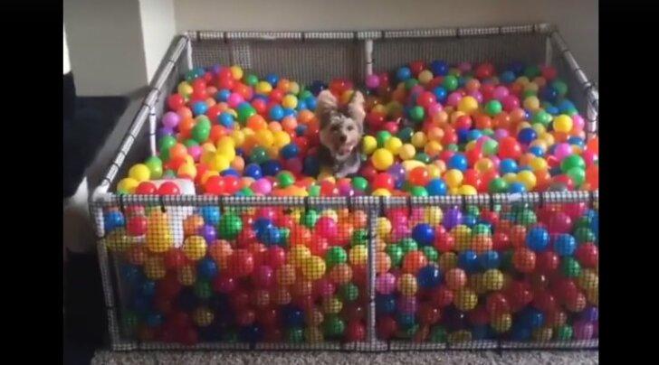 VIDEO: Elu on lust ja lillepidu! Vaata, kui vahvalt see koer pallimerre tuiskab ja mänguautoga sõidab