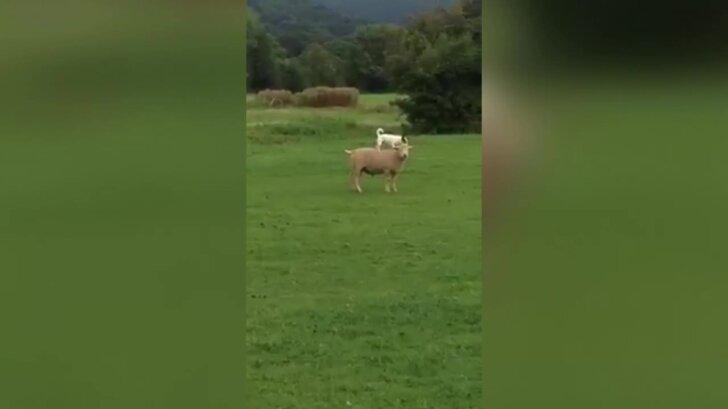 Naljakas VIDEO: Kui ise enam käia ei viitsi, siis maal õpivad ka koerad ratsutamise selgeks!
