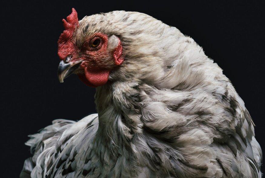 Kanad fotostuudios: Vaata, kui kaunid linnud on lihtsad kodukanad