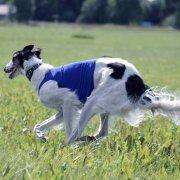 В собачьих бегах доминируют девочки.